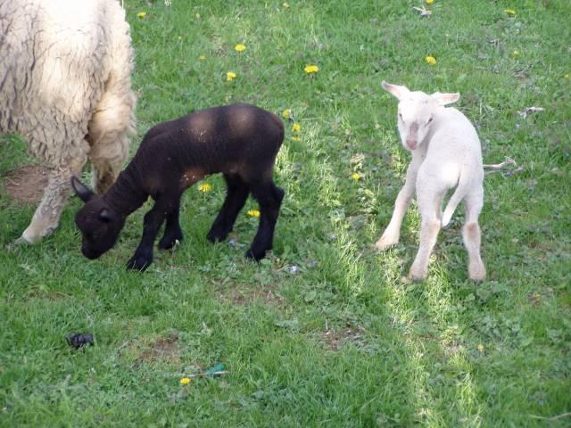 Černá ovce se stala bílou vránou!