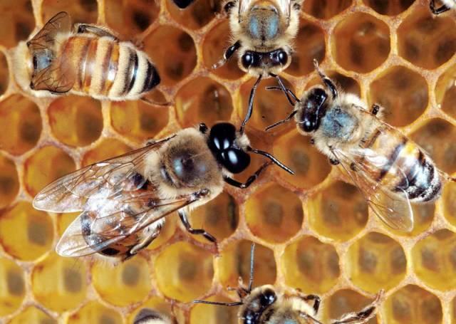 Med: zázrak ze včelí lékárny
