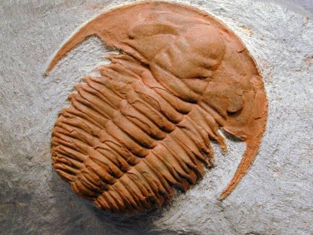 Trilobiti potravou predátorů?