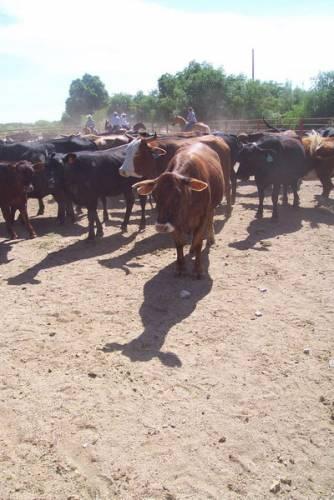Nová úloha prionů – mohou za infekci dobytka