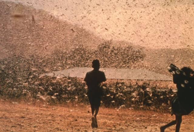 Mračna kobylek pustoší úrodu