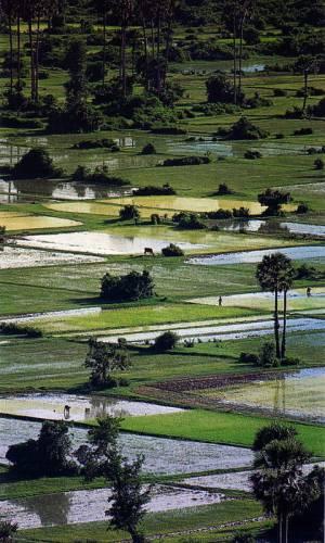 Nejstarší domestikovaná rýže