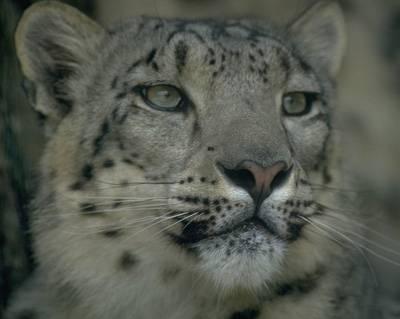 Leopardi sněžní k životu potřebují politiku