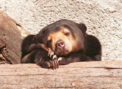 Neklidný spánek medvědů