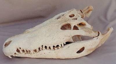Strašlivý krokodýl z Uberaby objeven