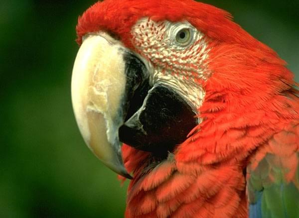 Červené tajemství papoušků