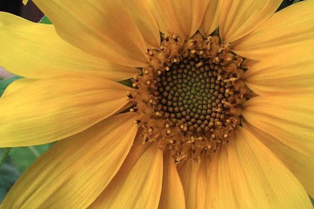 Slunečnicový olej ochrání před infekcí