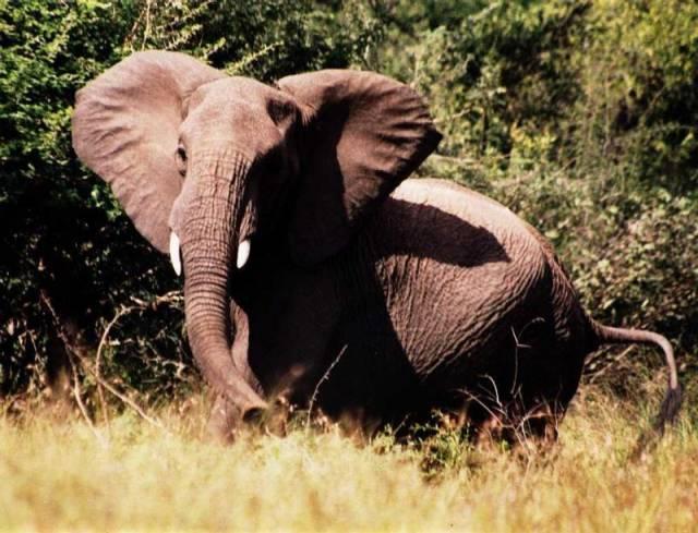 Sloni troubí jako auta