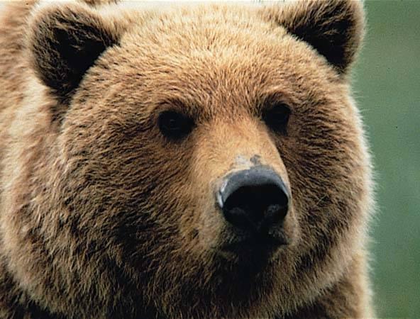 Aby medvědí matky zachránily svá mláďata před hněvem rozzuřených samců, raději se s nimi spáří. Medvědí samec je poté přesvědčen, že medvíďata jsou jeho potomky a neútočí na ně.