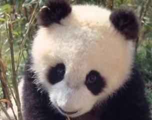 Panda velká se stala symbolem všech ohrožených živočišných druhů na celé planetě. Vždyť v současnosti žije ve volné přírodě okolo 1500 pand. Každé mládě odchované v zajetí je úspěchem a jedno takové se příští týden představí ve Washingtonu.