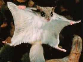 Američtí a čínští vědci nalezli zkamenělé pozůstatky drobného savce, který dokázal létat již před 130-164 miliony let.