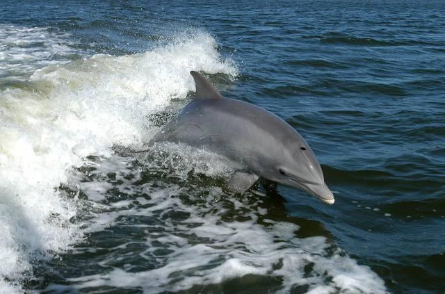 V listopadu se etologové pokusili proniknout do komunikace keporkaků, teď stejnou špionáž provádějí u delfínů.