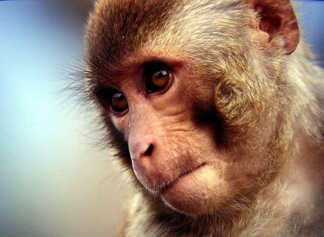 Jak se opice dívají na jiné tvory.