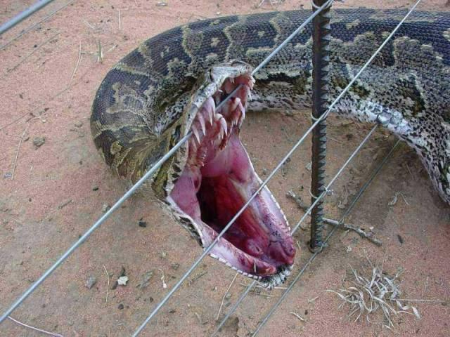 Královny mezi hady krajty mají svůj původní domov v Asii. Ale skvěle se jim daří i v Americe.