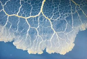 Jednobuněčné organismy, které u nás známe jako hlenky, vykazují známky učení a docela dobrou paměť.