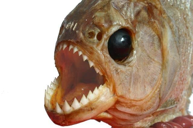 Vtipy o rybářích obvykle provází široké rozpažení. Kapitální úlovky ale nejsou jen rybářskou latinou. Nejen moře, ale i řeky a jezera mají své obry. Ti jsou však čím dál vzácnější. Některé obří druhy ryb balancují na pokraji vyhubení, jiné už zřejmě zmizely z povrchu naší planety.