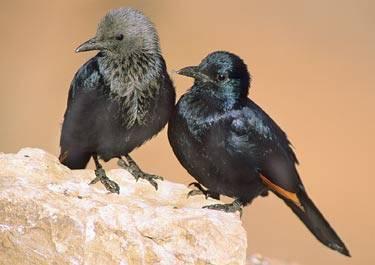 Je to zvláštní, ale i mezi živočichy narazíme často na manýry, připomínající ty naše lidské. Tak jako kdysi středověcí trubadúři opěvovali své úspěchy v lásce a vychvalovali své rytířské činy, opěvují své dobyvatelské úspěchy i stěhovaví ptáci.