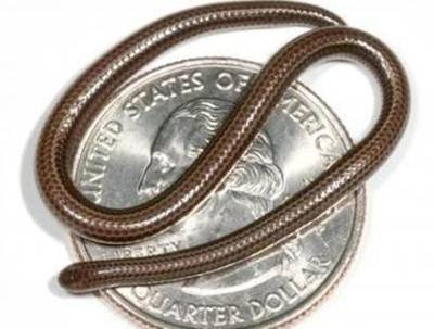 Na Barbadosu byl objeven druh hada, který je v dospělosti tenký jako špageta.