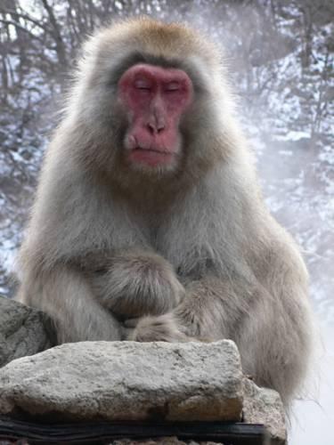 Jedinečnou atrakcí v horách u Jigokudani Yaen-Koen poblíž japonského Nagana jsou početná stáda makaků červenolících (Macaa fuscata), využívajících za třeskutých mrazů blahodárné účinky tepla v místních termálních pramenech.