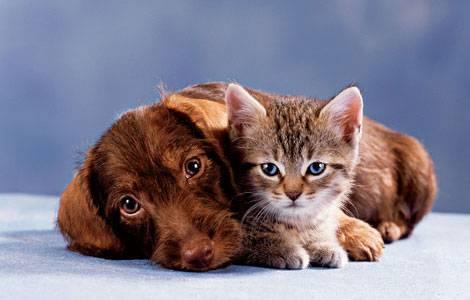 """Nepříliš přátelský vztah obou druhů domácích mazlíčků vstoupil i do přísloví. Řekneme-li, že je nějaká dvojice jako """"pes a kočka"""", myslíme tím něco jako """"oheň o voda"""", tedy vztah, v němž se rozhodně nevládne harmonie. Výzkumy izraelských zoologů ale ukazují, že cesta k jejich mírovému soužití nemusí být nutně úplně zavřená."""