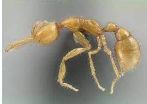 O obrovských amazonských pralesích víme, že pro vědu, zejména pro botaniku a zoologii skrývají ještě mnohá tajemství. Dalším z nich, které před nedávnem vydaly vědě, je nový mravenčí druh, který je pravděpodobně nejbližším žijícím příbuzným předka všech současných mravenců.