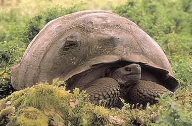 """Podobně jak bájný pták Fénix nebo biblický Lazar může """"vstát z mrtvých"""" již vymřelý poddruh obrovské želvy, který zmizel z přírody před 150 lety. Nasvědčují tomu závěry evolučních biologů z americké Yaleské univerzity."""