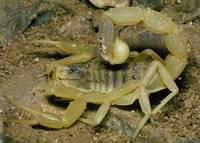Jedovatým škorpiónům se každý raději obloukem vyhne. Poslední lékařské výzkumy však ukazují, že jed jednoho z nich možná skrývá účinný lék na některé typy rakoviny!
