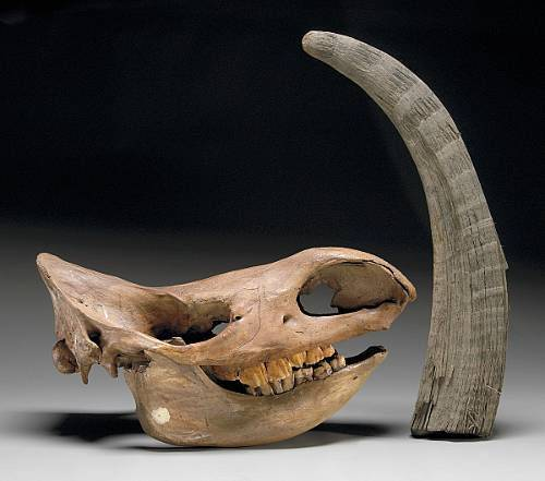 """Obří zvířata, takzvaná """"pleistocénní megafauna"""", obývala stepi mírného pásu Severní Ameriky a Euroasie  během čtvrtohor, tedy v době střídání ledových a meziledových dob. V Německém Durýnsku byla objevena lebka srstnatého nosorožce, která vědcům napomůže v datování počátků výskytu megafauny v Evropě."""