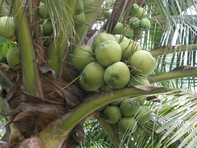 """Pěstitelé kokosových ořechů jistě nepatří mezi nejbohatší lidi na světě. Kokosoví """"farmáři"""", kterých je na světě kolem 11 miliónů, vydělávají v průměru okolo 500 USD ročně. S nápadem, jak zvýšit jejich příjmy, přišli nedávno vědci z amerického Texasu."""