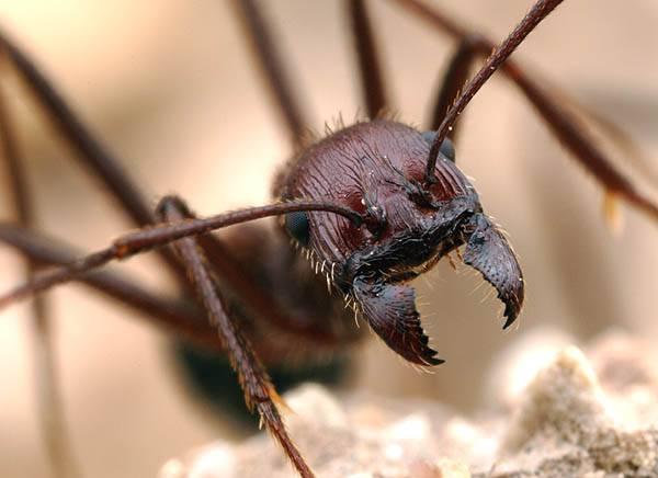 Mravenčí dělnice nejsou nějakým zvláštním pohlavím. Z genetického hlediska jsou to všechno víceméně zakrnělé samičky, které jsou všechny dcerami stejné matky – mravenčí královny. Čas od času se však i dělnice pokusí o to se rozmnožit. Američtí entomologové jsou na stopě mechanismu, díky němuž jsou takoví podvodníci rychle usvědčeni.