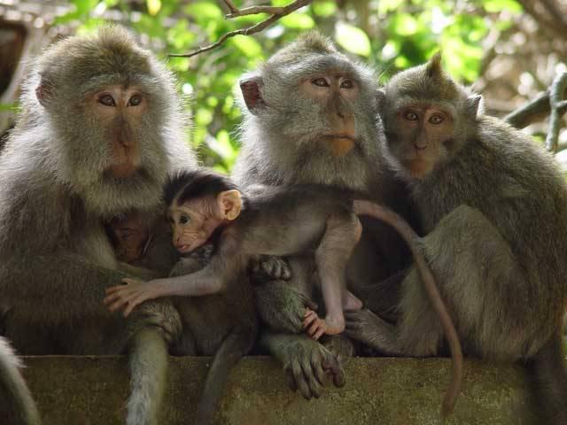 """Že demokracie je vynálezem pouze lidského pokolení? Omyl. Francouzští vědci nedávno zveřejnili zajímavý objev – demokratické principy jsou uznávány i v živočišné říši. Určitý stupeň """"parlamentarismu"""" lze nalézt třeba mezi makaky."""