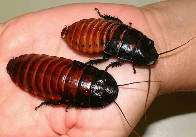 Detailní studium chování živočichů může odborníkům přinést mnohá překvapení. Řada z nás by ale jistě nečekala, že předmětem důkladného studia se mohou stát tvorové, které většina z nás nemá za nejpříjemnější – obrovští švábi.