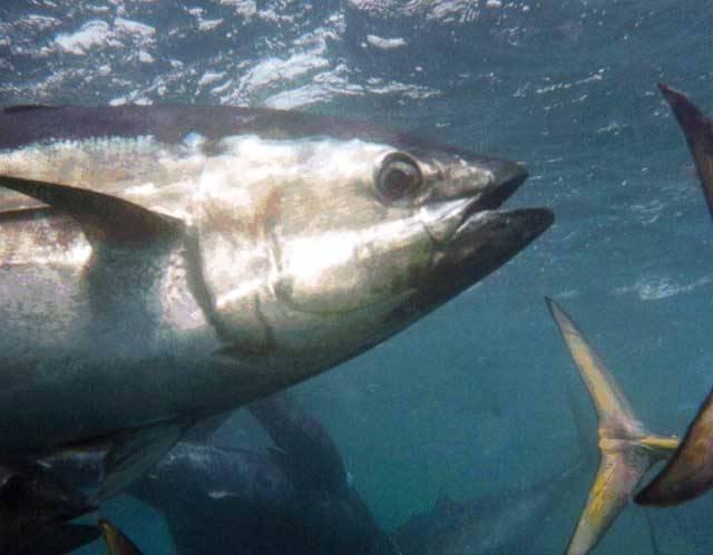 Američtí biologové nedávno připevnili již tisící senzor na tělo tuňáka modrého, jedné z nejohroženějších ryb v oceánech. Přesto, že těchto tuňáků se pohybují ve světových oceánech stále řádově miliony, jejich populace se ztenčuje závratnou rychlostí.