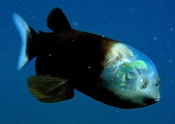 Život v mořských hlubinách, kde je o každý sebenepatrnější záblesk světla od mořské hladiny velká nouze, sebou nese řadu specifických nároků. Nedostatek světla proto často tvaruje těla a orgány hlubinných organismů do těch nejbizarnějších tvarů. Jedním ze skutečných šampiónů v podivnosti je ryba, kterou nedávno detailně prozkoumali v americkém Monterey Bay.