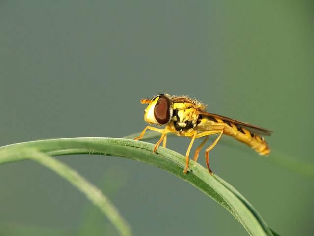 Schopnost létat, kterou si většina hmyzích skupin osvojila již v dávných prvohorách, je klíčem k jejich obrovskému evolučnímu úspěchu. Jak se ale přihodilo, že hmyz poprvé vzlétl? Nedávno publikovaná studie amerických vědců nás k řešení této záhady opět o kousek přiblížila.