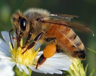 Mizení včelstev  nedělá vrásky pouze včelařům, ale prakticky všem, kdo se zajímají o budoucnost života na Zemi. Španělským vědcům se podařilo identifikovat jednu z jeho příčin a úspěšně ji léčit.