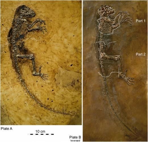 V paleontologii se často stane, že k významnému objevu nedojde přímo při vykopávkách v terénu, ale až o mnoho let později, kdy se muzejním specialistům podaří spojit dílky dávno rozpadlé skládačky dohromady. Totéž se nedávno povedlo norským vědcům - před očima se jim náhle objevil dávný zkamenělý primát.