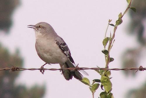 Ornitologové studují zpěv ptáků již desítky let. Zajímají se nejen o to, jak zpěv vlastně funguje a k čemu slouží, ale zjišťují například také, která část zpěvu je geneticky podmíněná a která je závislá na učení. Nedávno dokonce zjistili, že v průběhu let ptáci mění své pěvecké návyky v odpovědi na proměny prostředí.