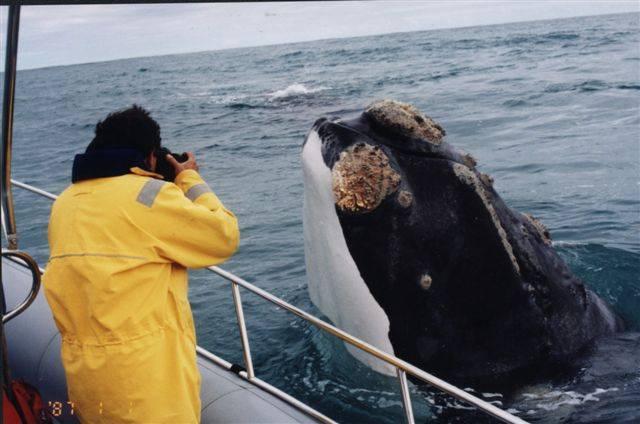 Lidská touha po zisku dokázala přivést na pokraj vyhubení již pěknou řádku živočišných i rostlinných druhů. O málokteré skupině organismů to platí do takové míry, jako o největších tvorech naší planety – mořských kytovcích. Podle posledních kalkulací lze ale velké množství peněz vydělat i na jejich pouhém pozorování!