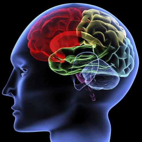 Mozek badatelé zkoumají už přes 150 let, ale právě poslední léta přinášejí stále čerstvé novinky. Přirovnávají ho k nasáklé houbě, která řídí vše, co člověk dělá. Mají pravdu v tom, že onu úžasnou mozkovou hmotu tvoří 78 % vody. V poslední době se objevují hypotézy, že nemáme mozek jen jeden, ale hned tři.