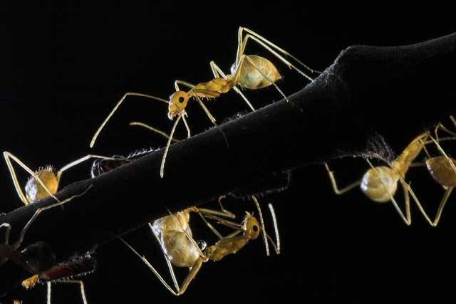 Úhledné a dokonale strukturované příbytky mravenců zdaleka neposkytují přístřeší jen svým domácím pánům. Stranou vší sloty a pod ochranou tisíců párů ostrých kusadel v něm přebývá také spousta více či méně zvaných hostů. Vydejte se spolu s 21. STOLETÍM do temných katakomb mravenčích staveb za vynalézavými mravenčími nájemníky.