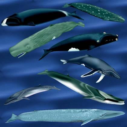 Příznivá zpráva pro ochránce velryb: Kytovce je lepší pozorovat než zabíjet