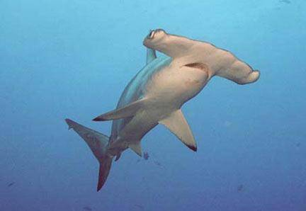 Už od doby, kdy byli žraloci kladivouni poprvé objeveni pro vědu, si vědci lámou hlavu, co vlastně stojí za jejich zvláštním tvarem těla. Hypotéz byla navržena spousta, američtí vědci však nedávno přišli s poměrně nezvratným důkazem: zvláštní hlava neskutečně vylepšuje jejich schopnost vidět.