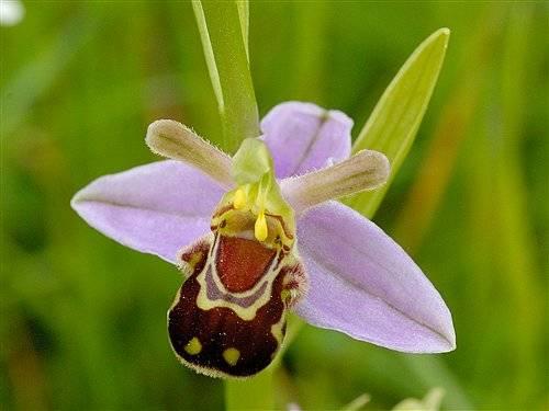V přírodě, stejně jako v lidské společnosti, narazíme na obrovskou řadu nejrůznějších podvodů. Jedním z nich je i to, že řada druhů orchidejí převléká své květy za samičky nejrůznějšího hmyzu. I když se to na první pohled nejeví jako příliš výhodné,  vědci nedávno dokázali, že se taková strategie skutečně vyplatí.