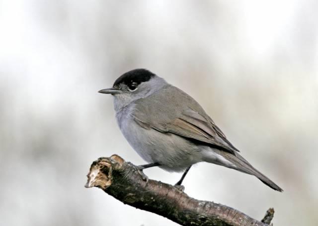 """Když se řekne """"genetická manipulace"""", většina lidí si nejspíš představí tajemné vědce v bílých pláštích. Podle nedávno publikované studie německých ornitologů však mohou s  geny ptáků manipulovat i vetché stařenky na lavičkách v parcích. Podle jejich zjištění mění zimní přikrmování ptáků nejen jejich zvyky, ale i tělesné proporce."""