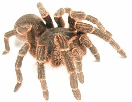 Velcí chlupatí pavouci – sklípkani, jsou mezi chovateli stále oblíbenější. I když většině lidí každý větší pavouk nahání hrůzu, najdou se tací, kteří na své miláčky nedají dopustit. Lékaři z anglického Leedsu však přišli s překvapivým zjištěním: sklípkani dokážou vystřelovat své chloupky na poměrně velkou vzdálenost, a pokud se dostanou chovateli do oka, mohou způsobit i slepotu!