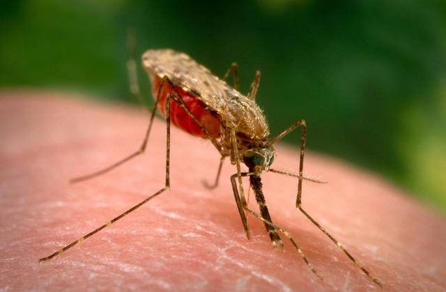 """Komáry jistě nikdo z nás nebude považovat za nějaký skvělý výplod evoluce. Američtí vědci přišli nedávno se zjištění, že lidé dokážou vývoji komárů ještě pořádně """"přiložit pod kotlem"""". Ve vodách kontaminovaných lidským odpadem se komáři nejen mnohem lépe množí, ale jsou i větší!"""
