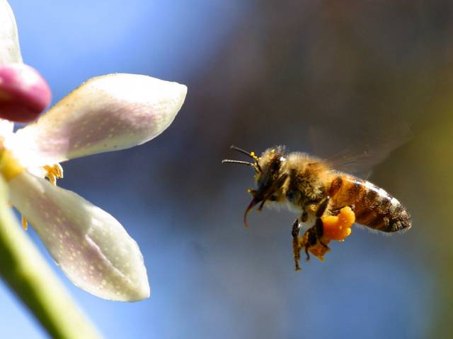 Každá včela musí ve své okolí vyhledat, zpracovat a zapamatovat si nejrůznější vůně, které ji dokáží dovést k potravě. Vůně rostlin jsou však složeny z nejrůznějších komponent a zorientovat se v nich proto není jednoduché. Australští vědci nedávno přišli s objevem, jak si mozek včel dokáže s tímto obtížným úkolem poradit.