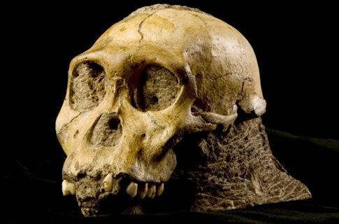 V letošním roce se objevy v nejstarších dějinách lidstva skutečně roztrhl pytel. Po nedávno ohlášeném nálezu neznámého druhu člověka z Sibiře přišla z čista jasna další významná zpráva, tentokrát ze země paleoantropologii zaslíbené - Jižní Afriky. Vědci zde objevili dosud neznámý druh australopitéka se zřetelnými lidskými rysy.