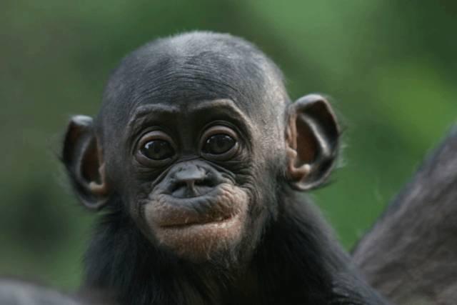 Když náš partner v rozhovoru zavrtí hlavou, je nám okamžitě jasné, co tím chce říci. Otáčení hlavy je jednoznačnou známkou nesouhlasu. Primatologové z německého Lipska nedávno přichytili naše blízké příbuzné, šimpanze bonobo, jak užívají prakticky stejné gesto. Podle německých vědců to ukazuje na pradávný původ gest lidských.